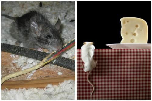 Мышь грызет провод и лезет за сыром