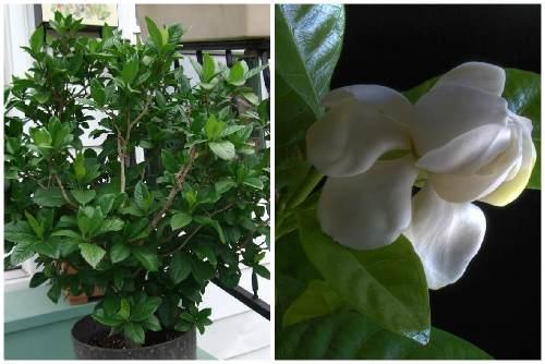 Гардения и ее цветок