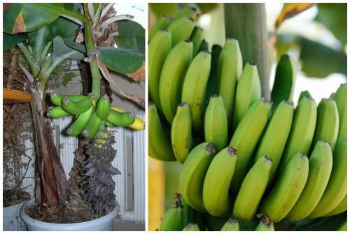 Как сажать банан декоративный 4