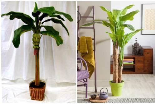 Как сажать банан декоративный 77