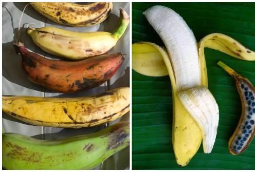 Как сажать банан декоративный 25