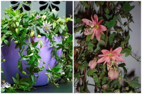 Пассифлора с разными цветами