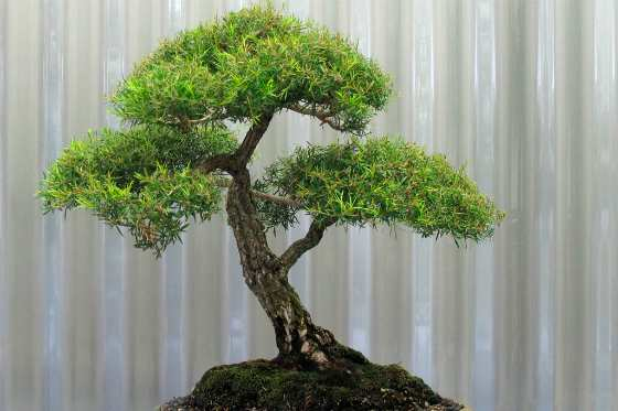 Чайное деревце в домашних условиях
