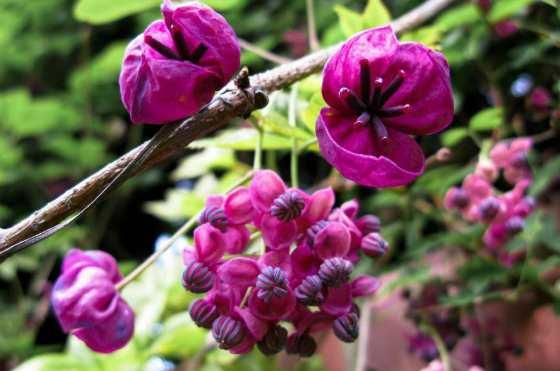 Цветки акебии
