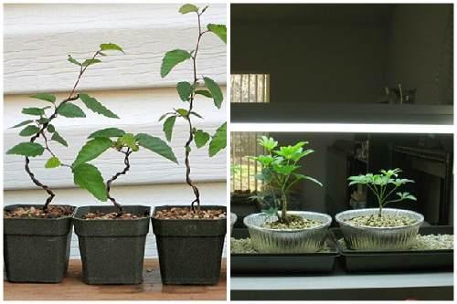 Как посадить бонсай не из семян в домашних условиях 139