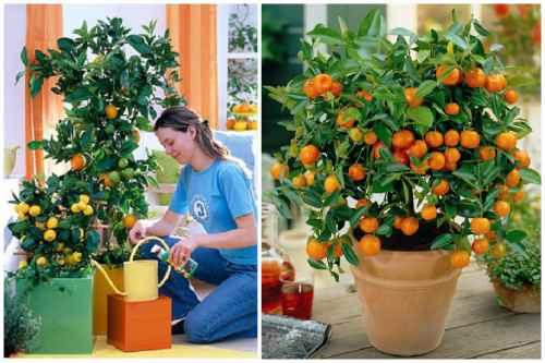 Полив апельсина