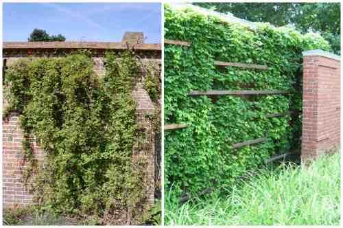 Применение в озеленении