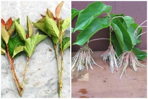 Как вырастить киви в домашних условиях из семян