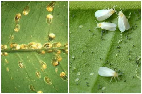 Щитовка и белокрылка