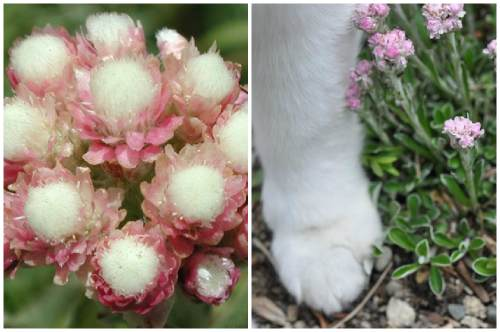 Сходство с лапой кошки