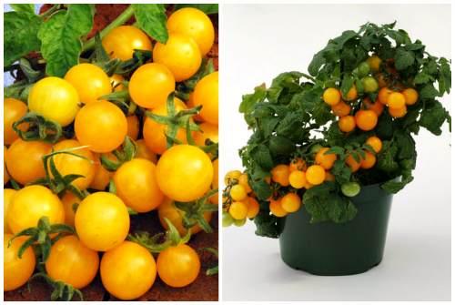 солнечные томаты