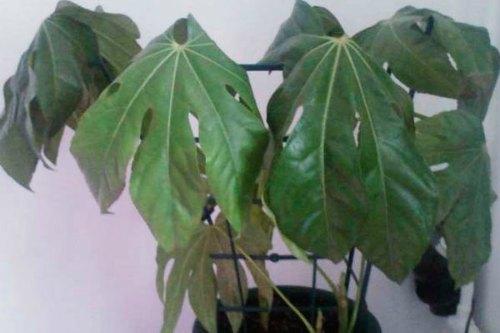 Усыхание листьев