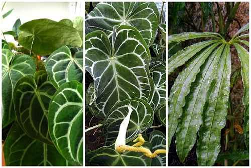 декоративно-лиственные сорта: Хрустальный, Величественный и Рассечённый