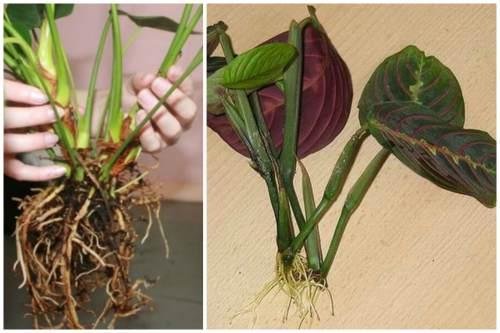 Деление куста, размножение листьями и черенками