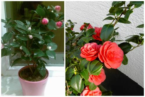 бутонирование цветение