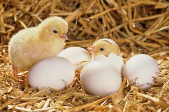 Молодые птенцы