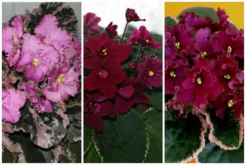 пестролистные цветы