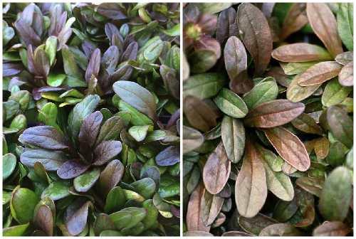 листья Шоколад Чип