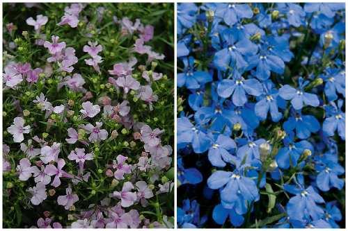 Riviera Lilac и Riviera Sky Blue