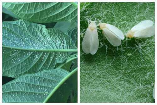 белокрылка на листьях