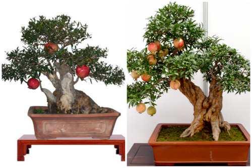 бонсай- гранатовое дерево