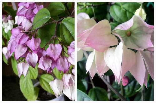 """цветение """"Томпсона"""""""