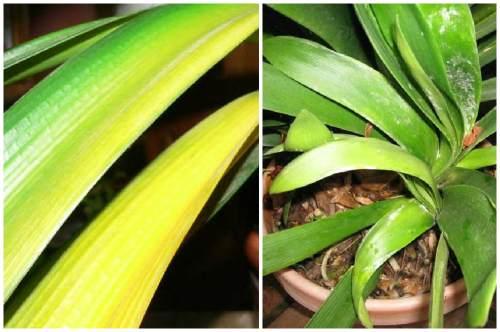 желтые и бледные листья