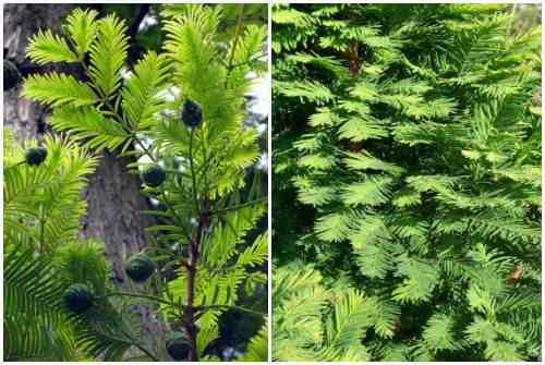 листья таксодиума болотного