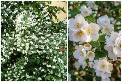 садовый жасмин - чубушник