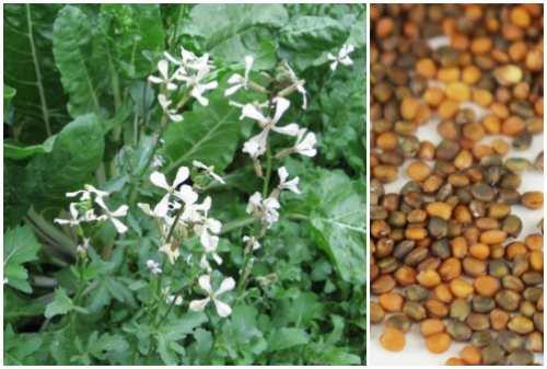 цветы и семена