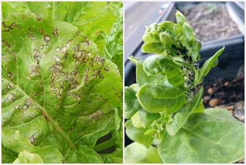 грибковое заболевание и тля на шпинате