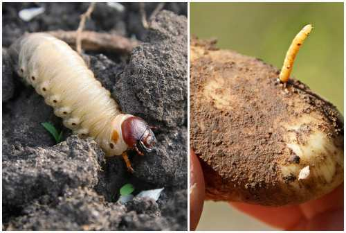 личинка майского жука, проволочник