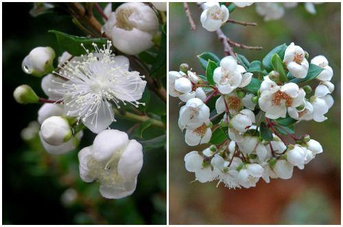 цветы Luma apiculata