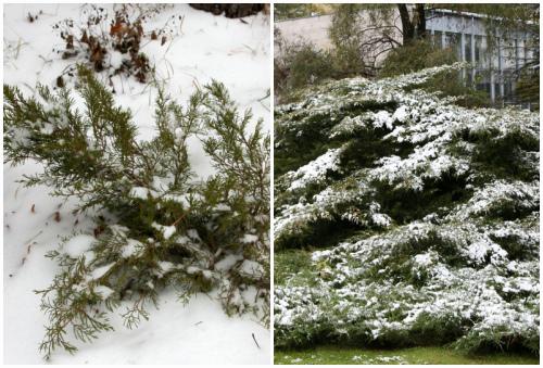 Mint Julep под снегом