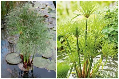 болотное растение