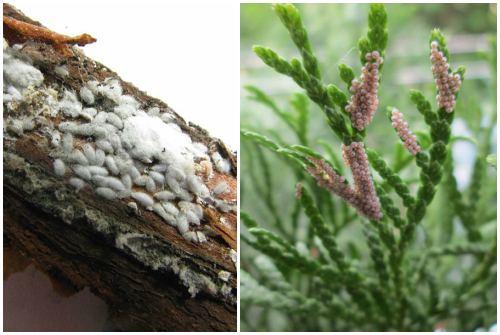 червецы и яйца насекомых - вредителей