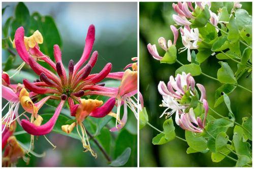 цветы каприфоли