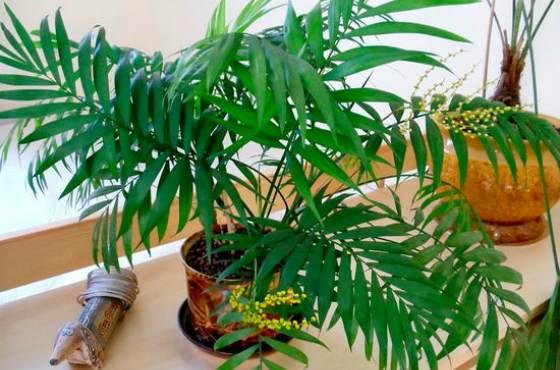 Хамедорея - домашняя пальма