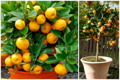 плоды каламондина