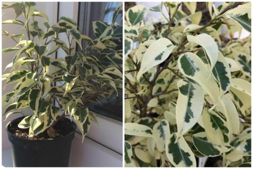 Ficus Benjamina f. StarLight