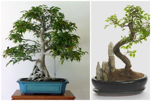 fikus bonsay