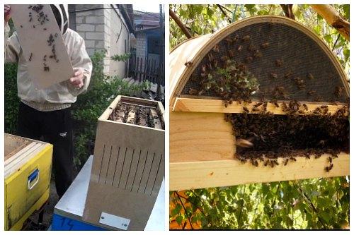 Пчелопакет и рой