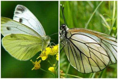 разновидности бабочек