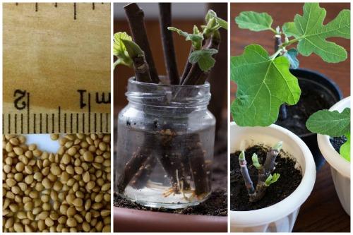 семена, черенки и рассада