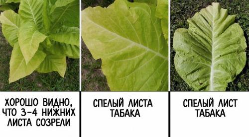 спелые листья