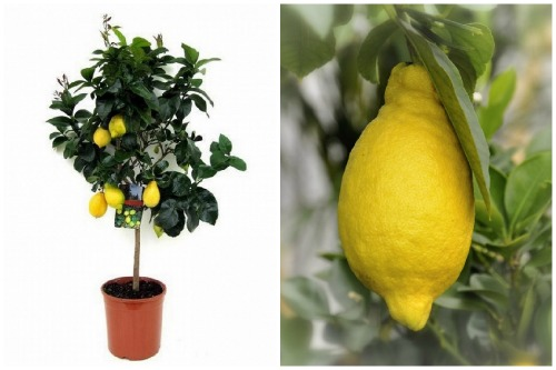 Лимон «Мейера»