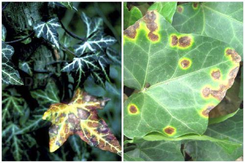 грибковая инфекция на листе плюща