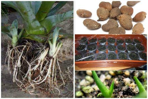 размножение агавы