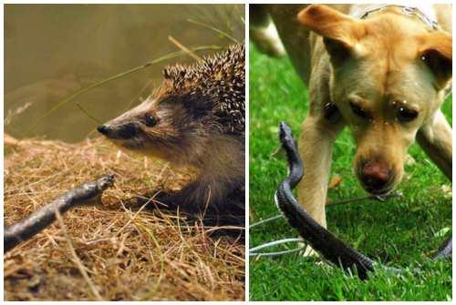еж и собака