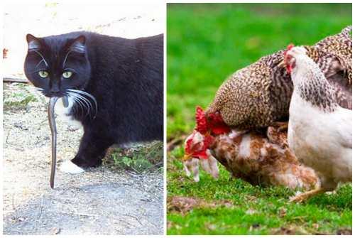 кот и куры